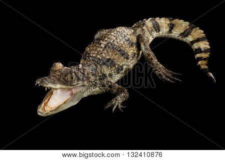 Closeup Young Cayman Crocodile Reptile with opened mouth and waved tail Isolated on Black Background in Top view