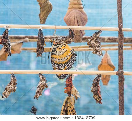 Image Of Butterfly Pupa Hang On Wooden Stick .