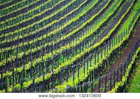 France green vineyard, beautiful lines of vineyards