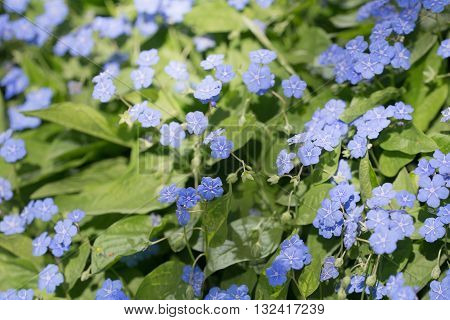 omphalodes blooming in spring day close up