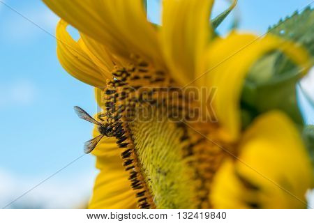 Close-up of a bee collecting pollen and nectar from a sunflower