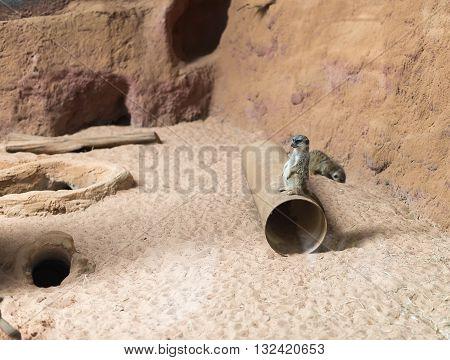 Suricato (suricata Suricatta) Standing Alert. Also Known As Meerkat.
