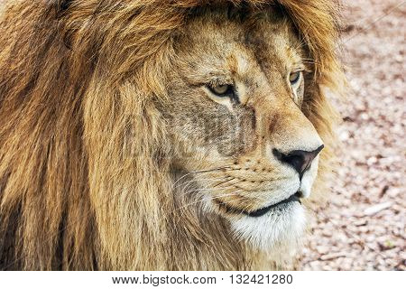 Portrait of a Barbary lion - Panthera leo leo. Lions mane. Animal scene. Critically endangered species. Animal closeup portrait.