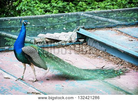 Beautiful Indian peafowl - Pavo cristatus - male (peacock) walking on the roof. Vibrant colors. Beauty in nature. Coloured bird. Head with crown.