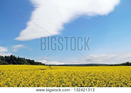 Yellow rapeseed or canola field under blue sky and big cloud