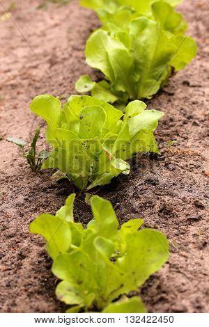 lettuce spot of gardening in the garden