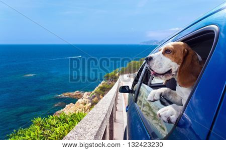 The cute beagle travels in the blue car