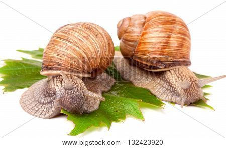 two snails crawling on the grape leaves on a white background