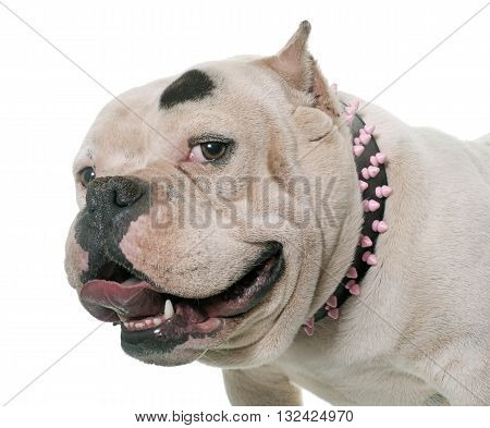 white american bully in front of white background