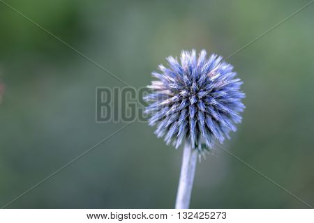 Globe Thistle blooms in spring on green background