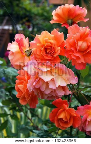 Bright ginger flowering rose  on a bush