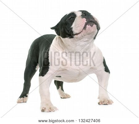 puppy american bully in front of white background