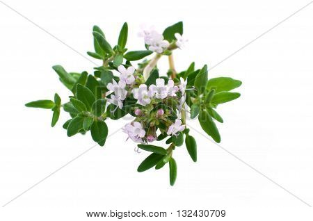 Fresh kitchen herb thyme with blossoms isolated