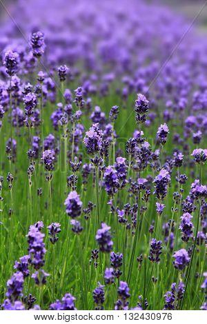 Lavender Blossoms, Fragrant Herb