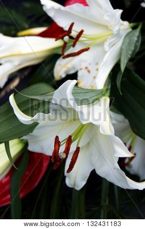 The flowers are white lilies with stamens