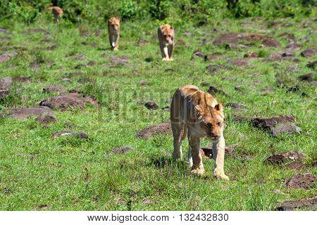 Pride of wild lions walks in savanna
