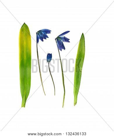 Pressed and dried flower bluebell (scilla). One of the first flowers blooming in early spring. Isolated on white background