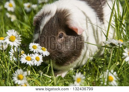 Guinea pig eating grass outside in the garden. Guinea pig (Cavia porcellus) is a popular household pet.