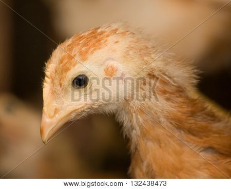 Brown chickens in a cage in a poultry farm