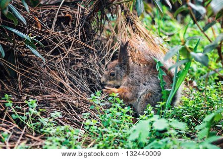 Portrait of cute eurasian red squirrel (Sciurus vulgaris) in spring forest looking with curiosity. Small ginger squirrel in park. Close-up squirrel on lawn.