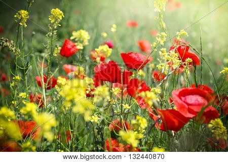 Meadow flowers - red poppy flower and yellow flowers