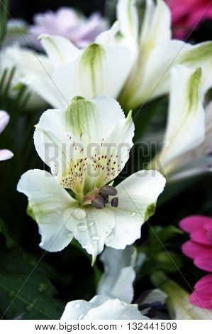 Opened flower white alstroemeria in a bouquet
