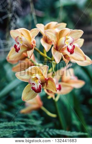Cymbidium orchid flowers with leaves isolated on out of focus garden background