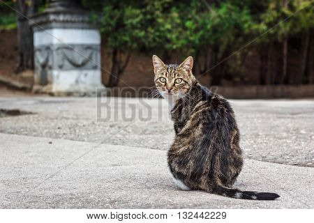 A fat tabby cat sitting on the road looking over shoulder towards camera.