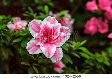 Beautiful pink rhododendron tree blossoms. Azalea in nature. Closeup Pink Desert Rose flower.