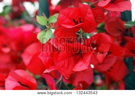 Bright red bougainvillea flowers in the summer