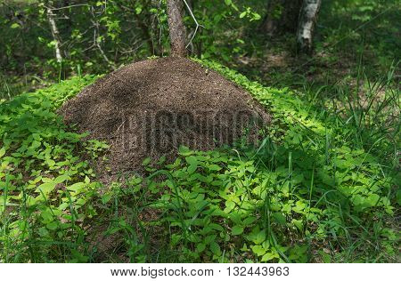 Big anthill with colony of ants surrounded by the green leaves of grass in spring forest