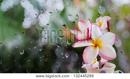 Pink White And Yellow Plumeria Or Frangipani In Cup On Rain Water Drop At Mirror Glass Plate Window