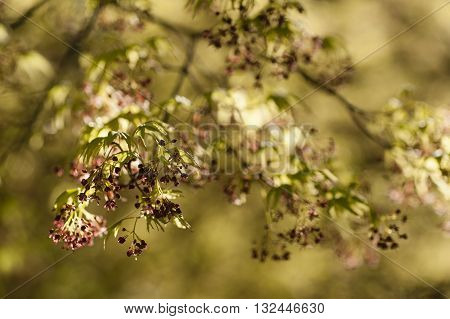 Maple tree with yellow green leaves and Spring red flowers Acer palmatum