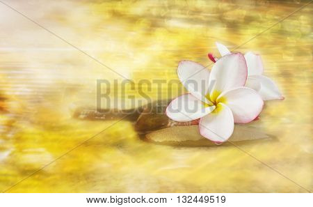White Pink And Yellow Fragrant Flower Plumeria Or Frangipani On Golden Dreamy Stream And Pebble Rock