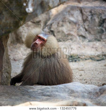 Huge wild Hamadryas baboon sitting in natural environment