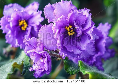 African violet (purple saintpaulia ionantha) one of the world's most popular houseplants, compact, low-growing plants flower several times a year.