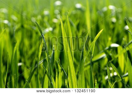 Vibrant green grass close-up, detail of grass leaves