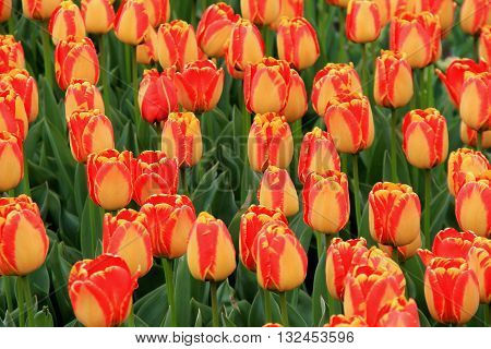 Gorgeous horizontal image filled with the color of Springtime tulips.