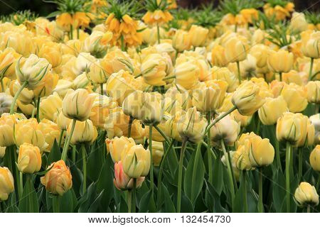 Gorgeous,landscaped garden bed of colorful, soft yellow tulips.