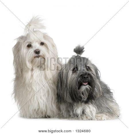 Pair Of Havanese Dog