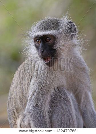 wild velvet monkey in Kruger National Park, South Africa.