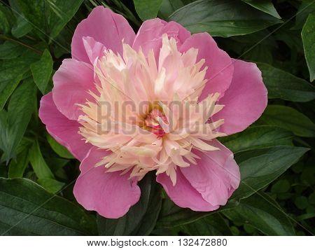 Lone pink peony flower 'Nymphe' (Dessert) .