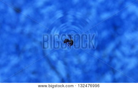 Honey Bee floating on the water surface drowning
