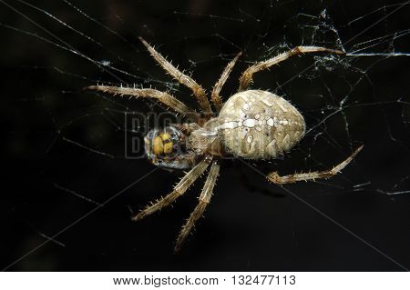 a cross spider is wrapping a hornet, that get caught in its web, with silk we still can see the hornet through the silk