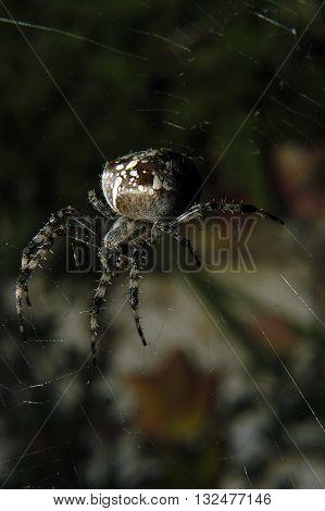 The european garden spider (Araneus diadematus) sitting in the spider net with dark background