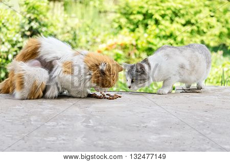 Stray cats eat cat food. Shedding cat, and a pregnant cat outdoors.
