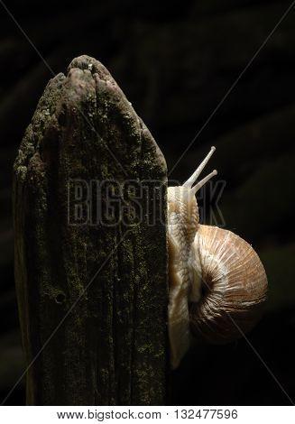 Burgundy snail (Helix, Roman snail, edible snail, escargot) crawling on its old wood
