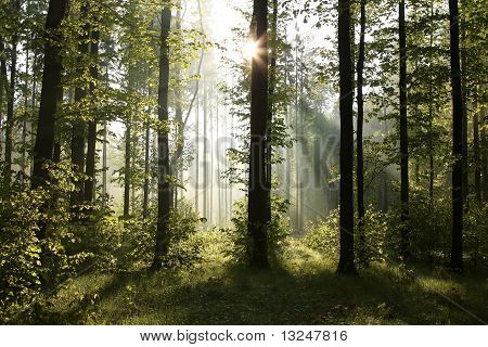 Forest at Dawn Deciduous Forest at Dawn