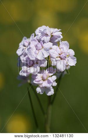 Cuckoo Flower, Cardamine Pratensis