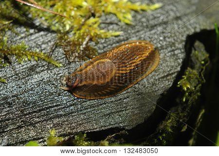 Spanish slug (Arion vulgaris) invasion in garden. Invasive slug. Garden problem in Europe.